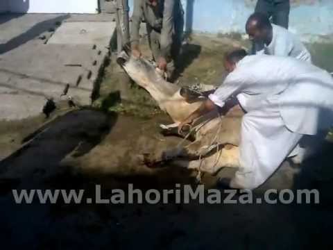 Dangerous Cow Qurbani http://www.fmzik.com/video_15ih5vFxs9I_The-Dangerous-Cow-Qurbani-07-Nov-2011-First-day-of-Eid-In-Faisalabad-By-Lahorimaza.Net.html