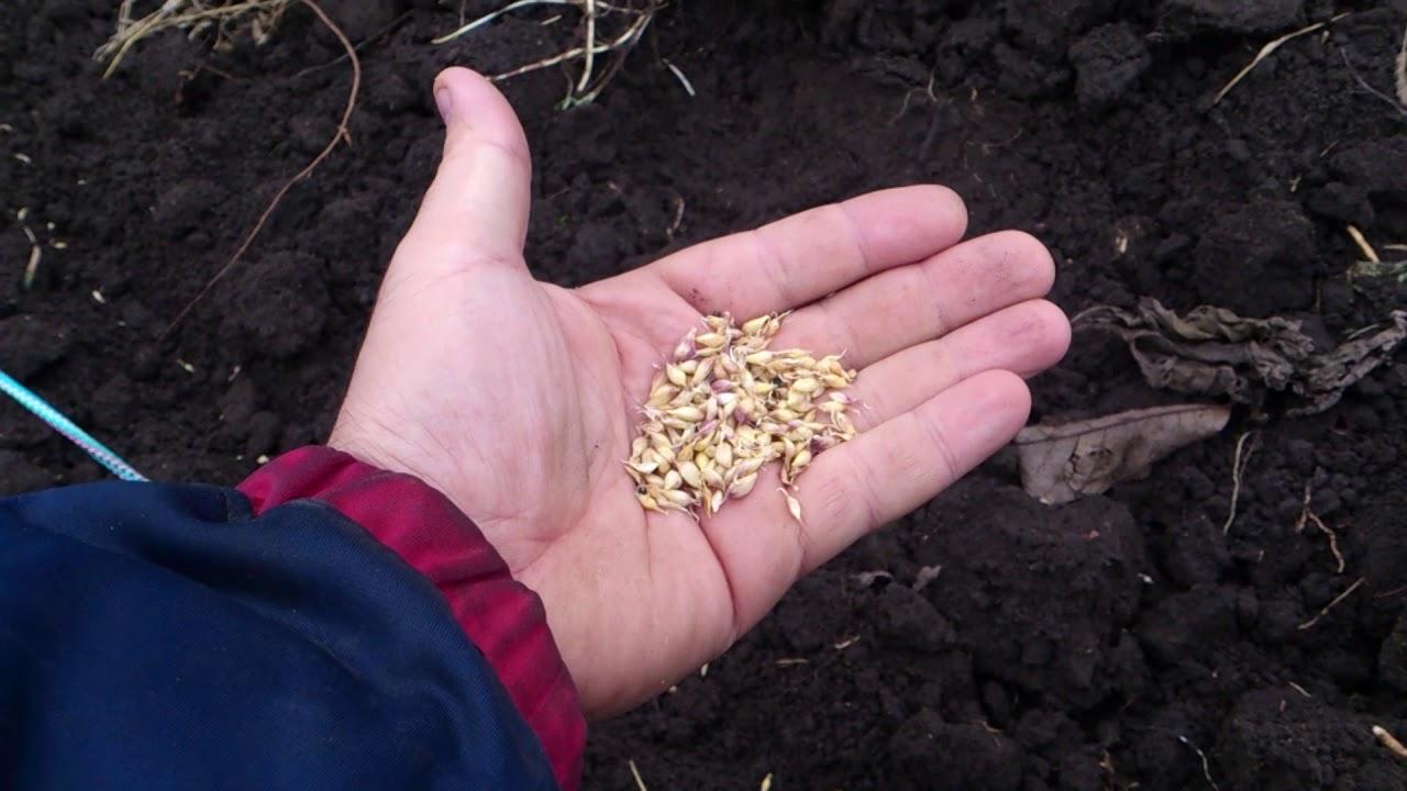 Правильное выращивание чеснока 98