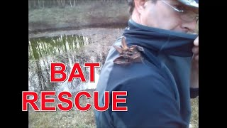 Incredible! Brown Long eared bat rescued from drowning.