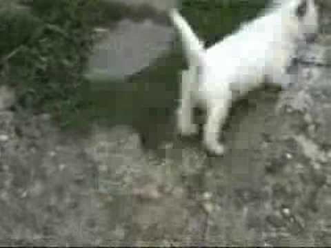 west highland white terrier westie dog dogs Video