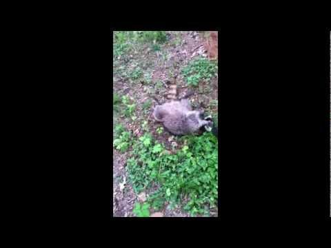 Pellet Gun Raccoon Hunting!