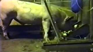Pig Inhaling Inert Gas. Loss of Consciousness / Pass Out / Faint / Swoon / Syncope / Blackout