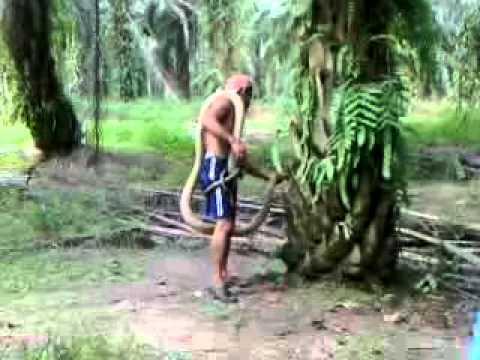 penangkapan ular tedung oleh geng mandor zaidi jepon