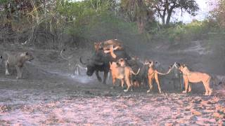 The Kill: 20 Lions Take One Buffalo