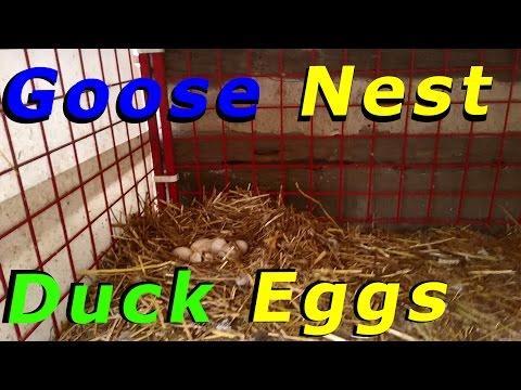 Goose Nest Full Of Duck Eggs #91 Wintering Ducks & Geese