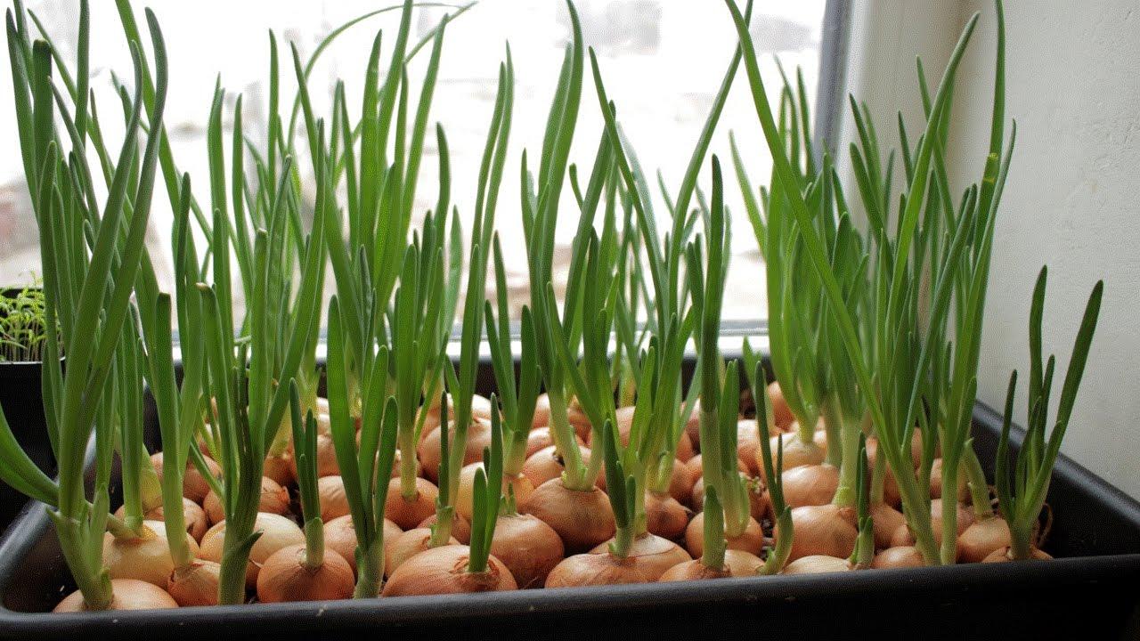 Выращивание лука в северных регионах 99