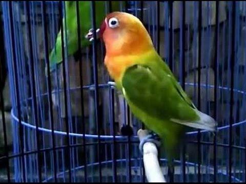 Love Bird Ngekek pemancing Love Bird agar Bikin Rajin Ngekek