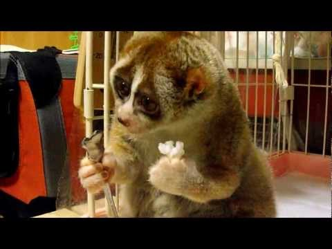 Slow Loris eating a Rice Ball