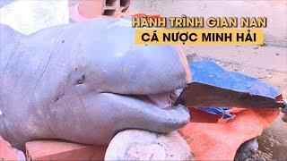 Hành trình gian nan của con cá nược Minh Hải siêu quý hiếm ở Bến Tre