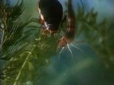 ловля на жука плавунца