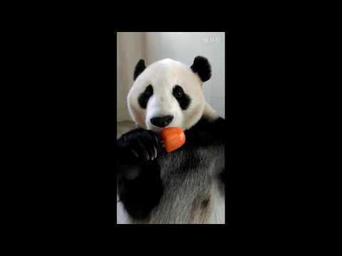 アイスを食べるつぶらな瞳すぎるパンダ♪