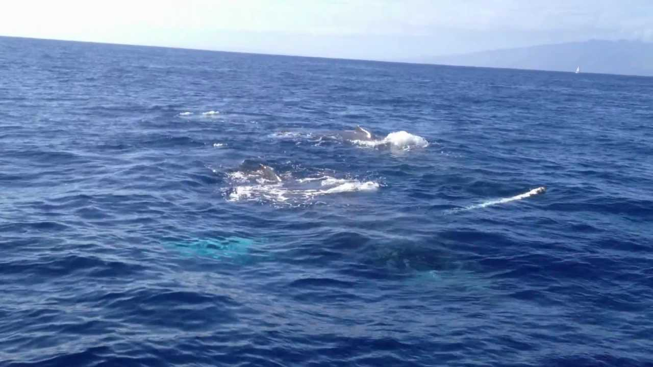 Whales in Oceans Hawaii Ocean Project | Whale