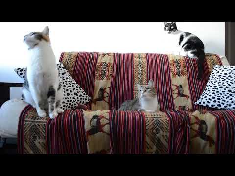 Gatos graciosos. Las tres Mosqueteras