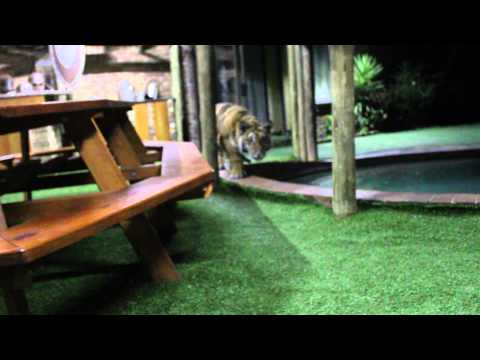 Stalking tiger style !