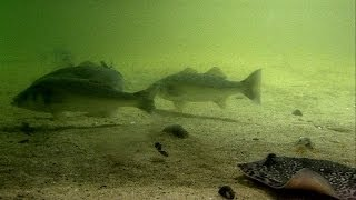 Fishing: ray, turbot & pollock attack a lure underwater. Рыбалка скат палтус сайда атакуют воблер