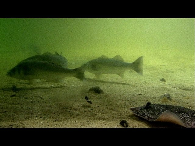 Fishing: ray, turbot & pollock attack a lure underwater. Рыбалка скат палтус сайда атакуют воблер