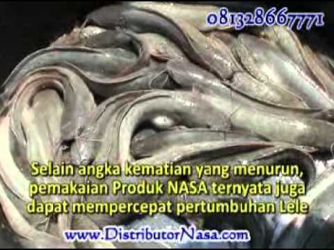 Teknis Budidaya ikan lele