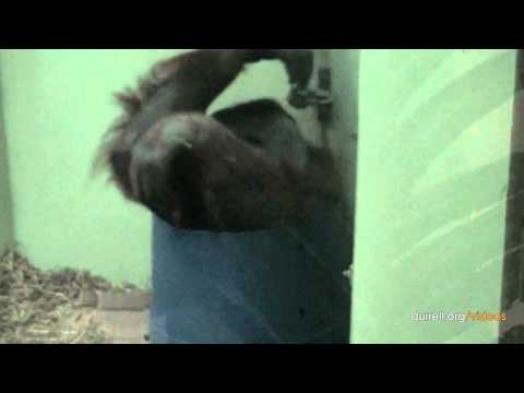 Adopt a orangutan at Durrell