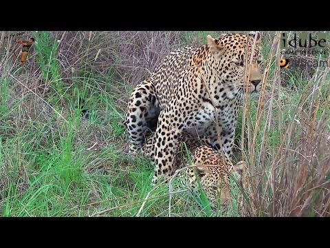 Sex In The Wild: Mating Pair Of Wild African Leopards video
