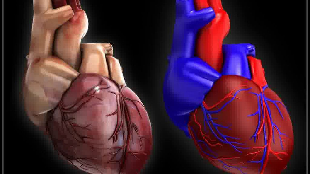 How to Make a 3d Model of a Human Heart 3d Model of The Human Heart