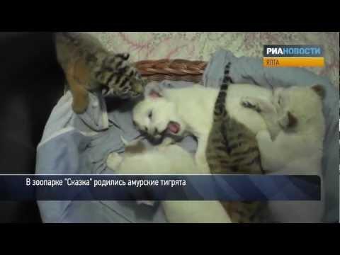 Амурские тигрята играют с львятами и кусают их за уши