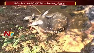 Red Sandalwood Smuggler Hulchul in Seshachalam Forest | ప్రాణాలు కోల్పోతున్న వన్యప్రాణులు | NTV