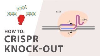 How to perform a CRISPR Knockout Experiment