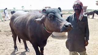 All Top Buffalo in Pakistan |Dosu jat Buffalo | kundhi nasal | Banni Sindhan| Badin sindh| دوسو جت