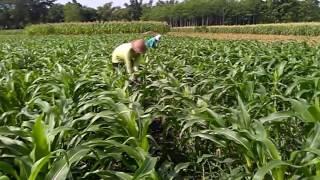 Perawatan tanaman jagung manis umur 30 hari ,Pembubunan /Ipuk