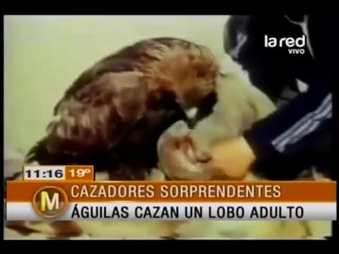 Iván Arenas nos muestra unas águilas que cazan un lobo