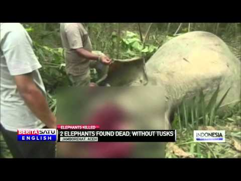 Endangered Sumatran Elephant Poached for Tusks in Aceh