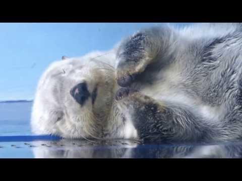 熟睡するラッコ、ミール(20131019@サンシャイン水族館)