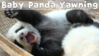 Baby Panda Yawning With Tongue Sticking Out | iPanda