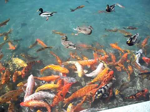 Koi Fish And Ducks Fighting For Food At The Japanese
