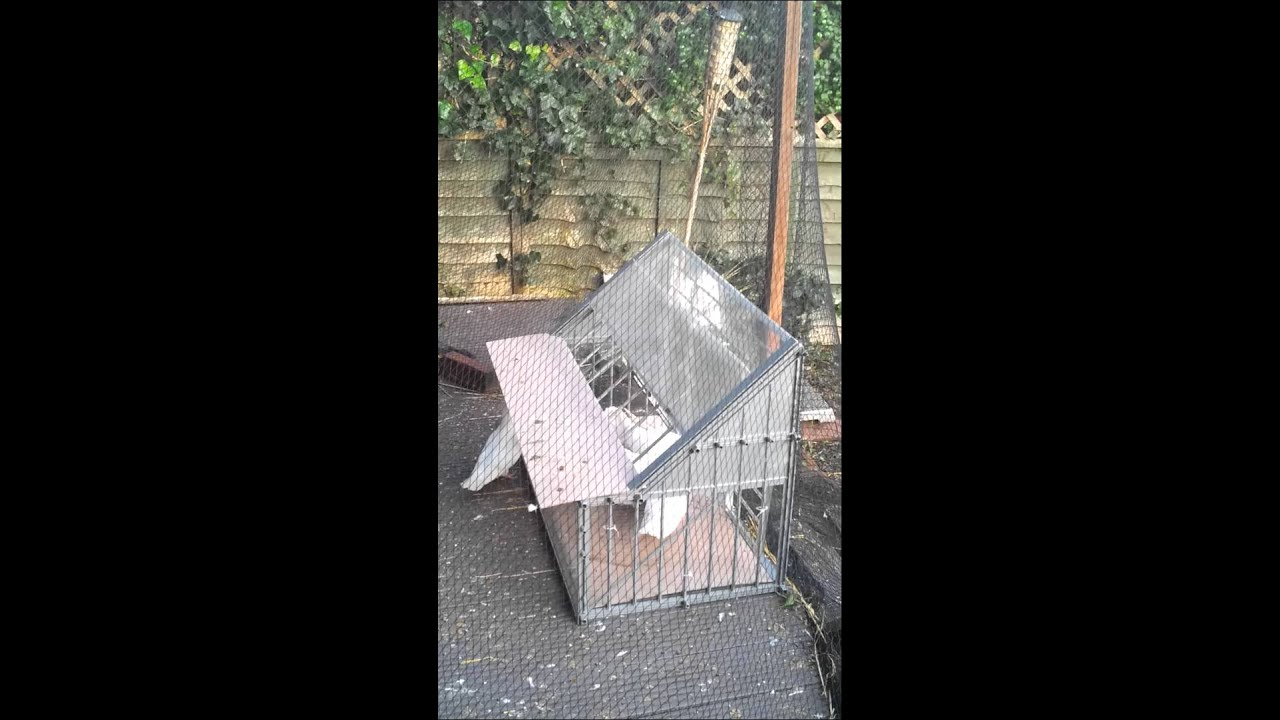 4th Time Of Using Belgian Sputnik Trap For Doves Youtube
