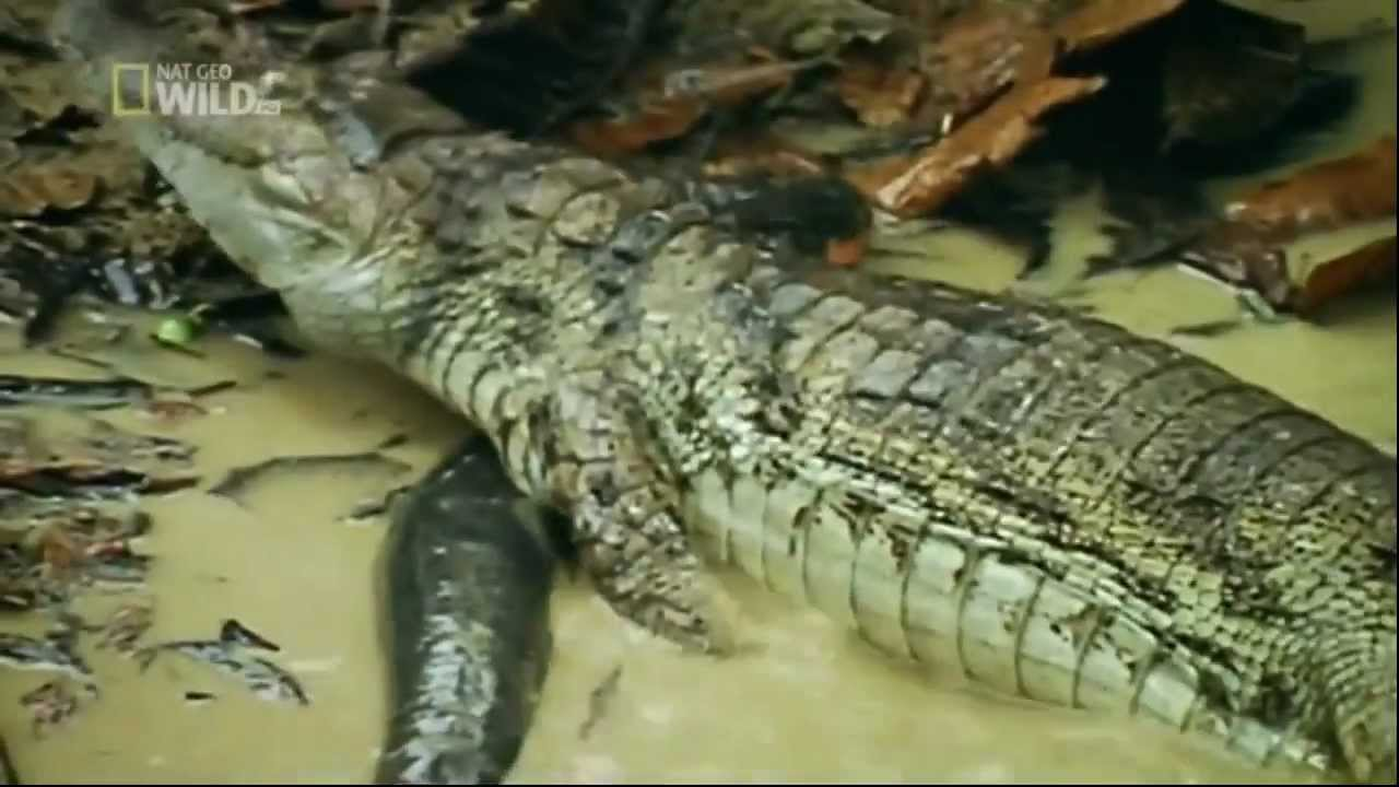 Electric fish kills crocodile - YouTube
