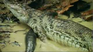 Electric fish kills crocodile