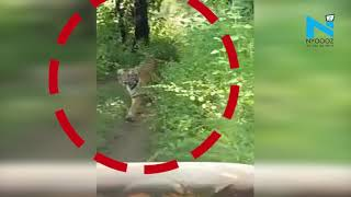 Viral Video: Tiger chases tourist vehicle inside Tadoba Andheri Tiger Reserve