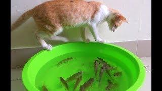 Funny Cat Play With Fish So Cute - Funny Cat vs Fish  Part I  ЙЛЛЛ КЙЙё ЛЛЛ ЛЛ