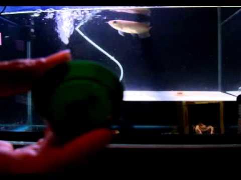 ไอ้ทอง หม่ำอาหาร ( ปลามังกรกินอาหารเม็ด )