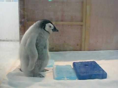 Baby Emperor Penguin. 49 days : コウテイペンギン ひな 49日目