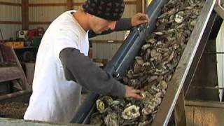Restaurants Recycling Oyster Shells to Help Restore Chesapeake Bay