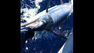 Gold Coast Marlin Mania 8/2/15