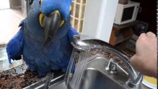 Funny Blue Hyacinth macaw