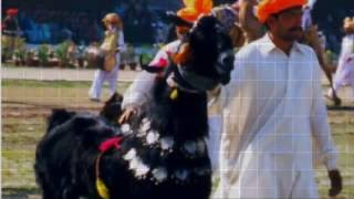 Download Pakistani big goats for Eid 2016 3Gp Mp4