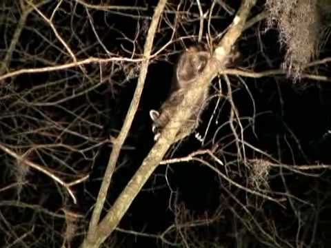 Bob Redfern's Darlington Coon Hunting Video