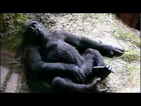 2011年6月25日の上野動物園のゴリラの赤ちゃんコモモ。Cute baby gorilla Komomo.