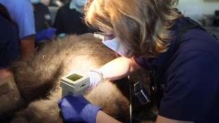 Pediatricians Test Hearing of Their Biggest Patient Yet... A Gorilla