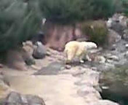 ズーラシア 白熊の常同行動(異常行動)