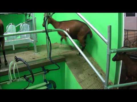 Sala mungitura capre 12 posti SAC - SARTORE.wmv